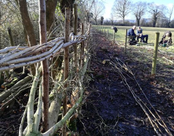Boynes Meadow - hedgelaying the new fence. Image courtesy of David Molloy and Worcestershire Wildlife Trust