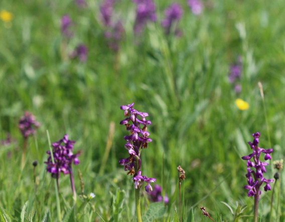 Boynes Meadow - wildflowers. Image courtesy of Wendy Carter and Worcestershire Wildlife Trust
