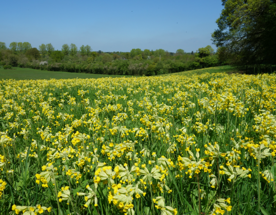 Boynes Meadow - cowslips. Image courtesy of Wendy Carter and Worcestershire Wildlife Trust