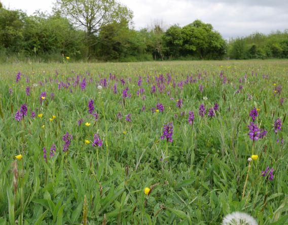 Boynes Meadow - wildflowers. Image courtesy of Alison Uren and Worcestershire Wildlife Trust