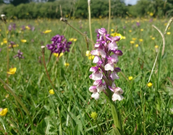 Boynes Meadow - wildflower close up. Image courtesy of Wendy Carter and Worcestershire Wildlife Trust